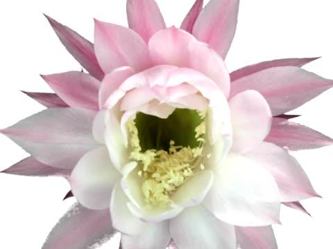 Cactus Flower Bloom video