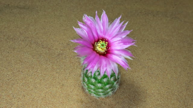 cactus flower blooming