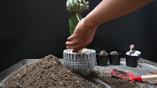 Cactus planting with soil