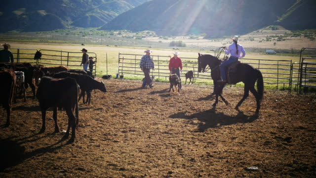 Calf branding on ranch - cowboys and cowgirls in action Cowboys and cowgirls on ranches in Utah, United States. cowgirl stock videos & royalty-free footage