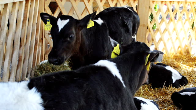 calf in a cowshed - giovenca video stock e b–roll