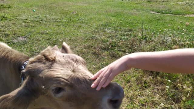 calf is licking - дикая растительность стоковые видео и кадры b-roll