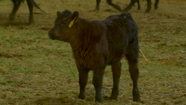 Calf Standing in the Pasture video