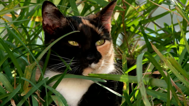 Calico cat outdoors Female calico cat sitting in the lawn outdoors relaxing. tortoise shell stock videos & royalty-free footage