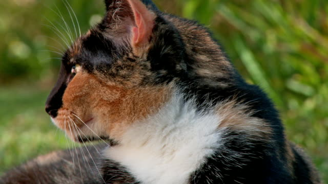 Calico cat outdoors yawning Young female calico cat sitting outdoors yawning tortoise shell stock videos & royalty-free footage