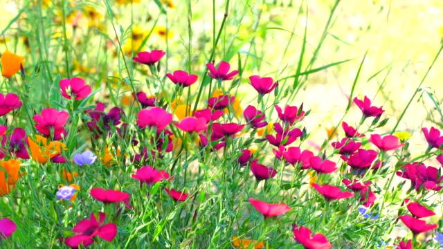 Califonia poppies field in springtime 4K
