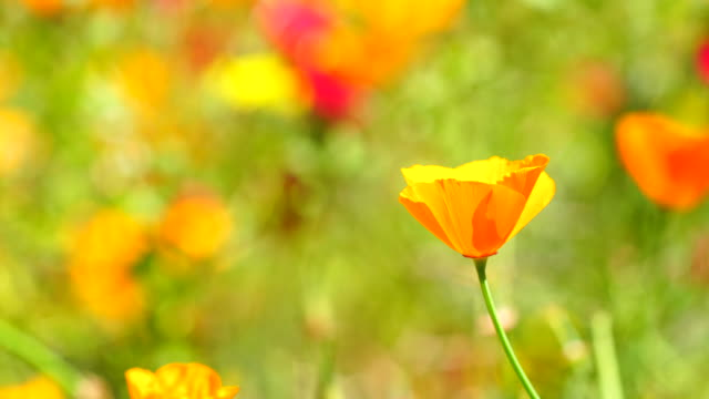 Califonia poppies field in springtime