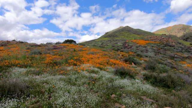 kalifornien golden poppy och goldfields blommar i walker canyon, lake elsinore, ca. usa - blommönster bildbanksvideor och videomaterial från bakom kulisserna