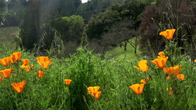 California Golden Poppy Flower