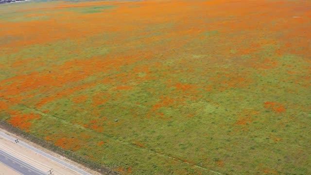2020 California Golden Poppy Superbloom