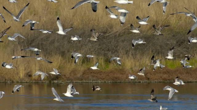 California gulls, Larus californicus, flying Flock of mostly California gulls (Larus californicus) taking flight over San Francisco Bay salt water marsh. Shoreline Park, Mountain View, California, USA. marsh stock videos & royalty-free footage