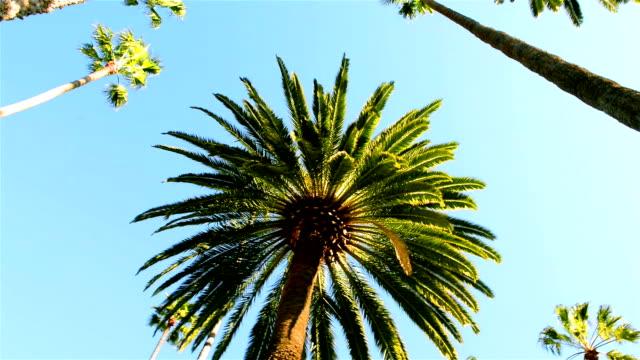 California palm trees video