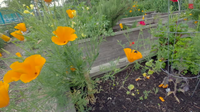 California Poppies and Bumblebee 4K UHD