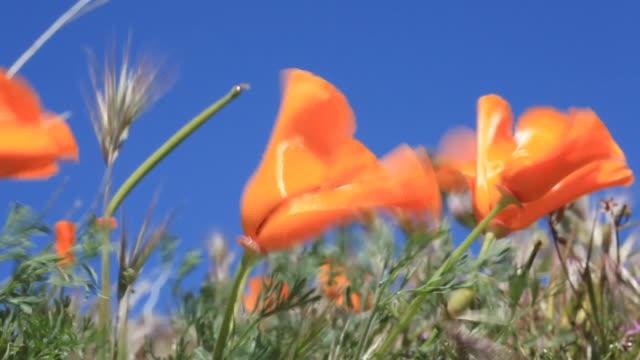 California Poppies - HD Video