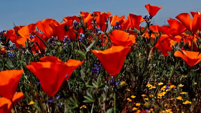 California Poppies in bloom