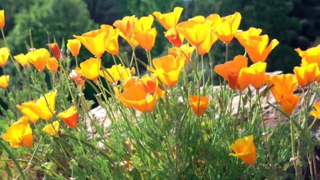California poppy on the rock