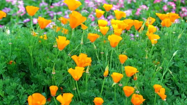 papavero della california. - colore ciliegia video stock e b–roll