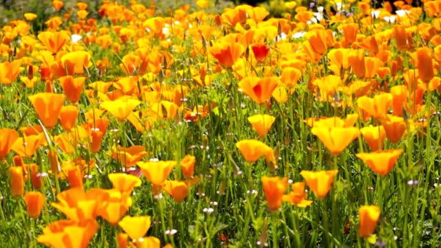 hd papavero della california - colore ciliegia video stock e b–roll