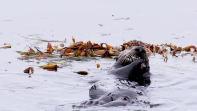 vidéos et rushes de loutre de mer de californie à manger - coquillage