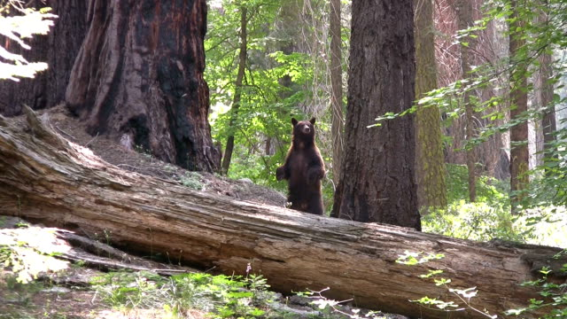 HD: Californian bear HD1080p: Brown bear looking around in the forest of the Sequoia national park in California. USA. bear stock videos & royalty-free footage
