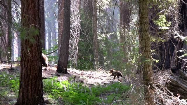 HD: Californian bears HD1080p: Californian brown bears walking around in the forest of the Sequoia national park in California. USA. animal family stock videos & royalty-free footage