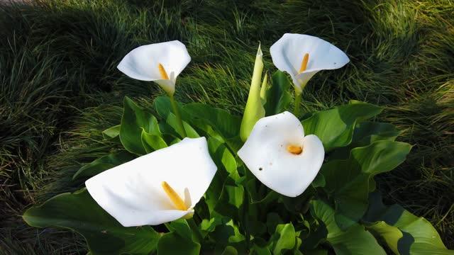 Calla lilies in a garden in spring day