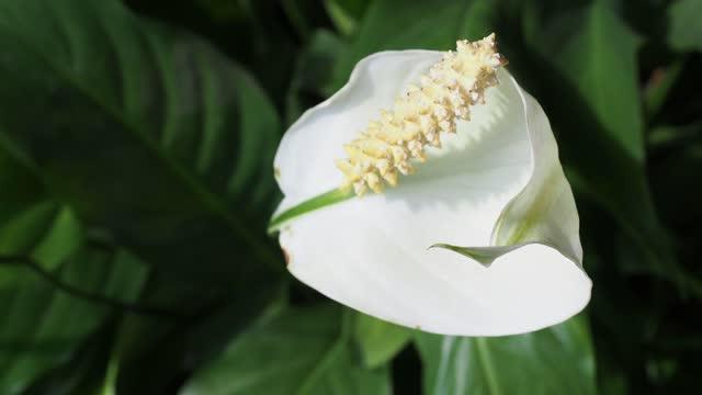 calla plant (Calla palustris) white flower
