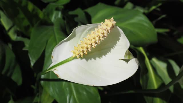 calla (Calla palustris) plant white flower