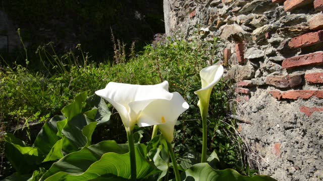 calla Zantedeschia in bloom with  the pistil on green
