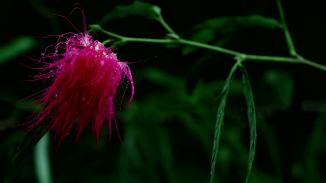 vídeos de stock e filmes b-roll de calliandra flower, (calliandra haematocephala) - calliandra haematocephala