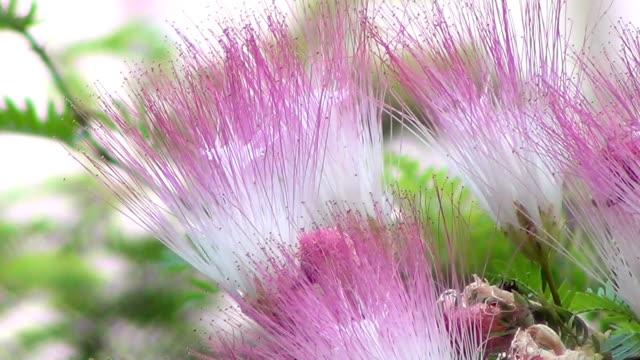 vídeos de stock e filmes b-roll de calliandra surinamensis flowers (mimosoideae / mimosaceae) - calliandra haematocephala