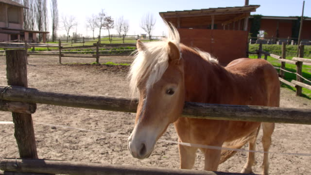 Calm relaxed brown horse resting in wooden farm fence video