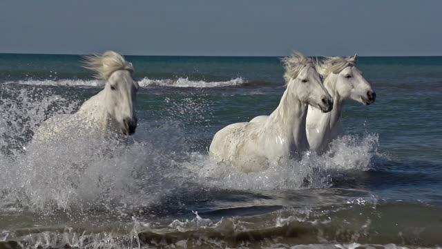 camargue horse galloping in the sea, saintes marie de la mer in camargue, in the south of france, slow motion - лошадиные стоковые видео и кадры b-roll