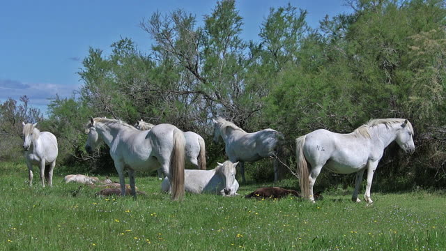 Camargue Horse, Herd of Females and Foals Sleeping, Saintes Marie de la Mer in The South of France, Real Time Camargue Horse, Herd of Females and Foals Sleeping, Saintes Marie de la Mer in The South of France, Real Time lying down stock videos & royalty-free footage