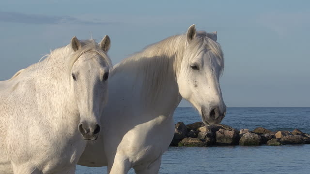 Camargue Horse, Saintes Marie de la Mer in The South of France, Real Time