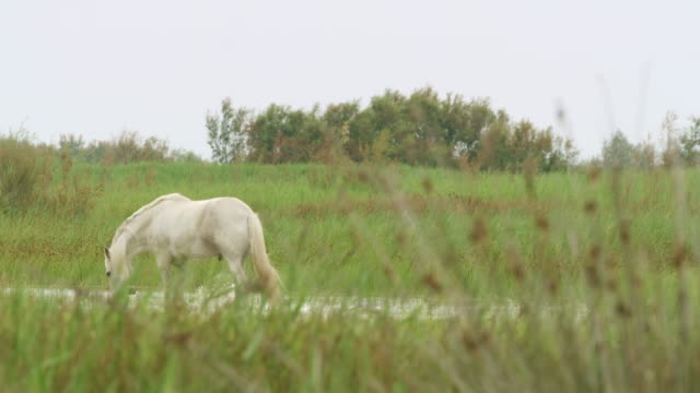 ls camargue horse wading in the water - criniera video stock e b–roll