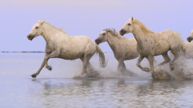 PAN Camargue horses splashing the shallow water on the beach