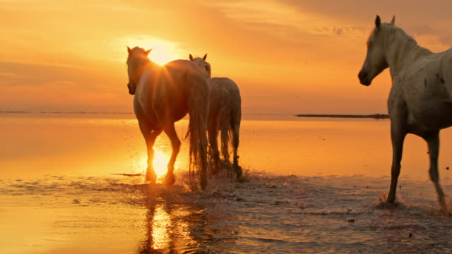 WS Camargue horses walking on the beach at sunset