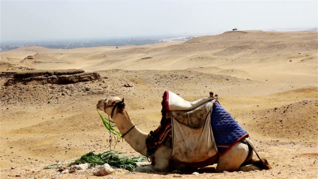 Camel chewing grass in the desert. Egypt video