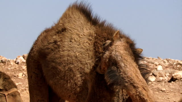 Camel cleaning its fur with mouth video