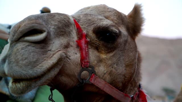 Camel Close Up video
