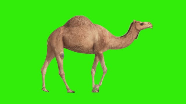 CG camel cyclical walking on green screen