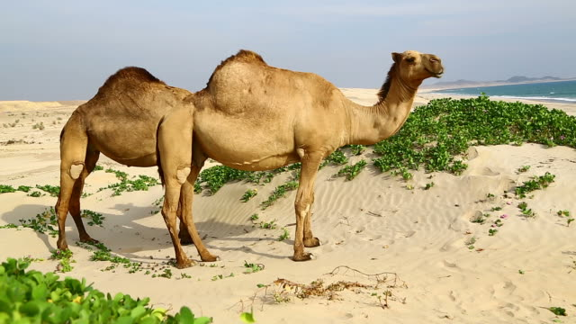 camel eating near the sea video