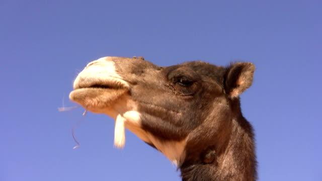 cammello sul deserto erba per nutrizione - libia video stock e b–roll