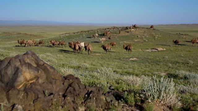 Camel herd. video