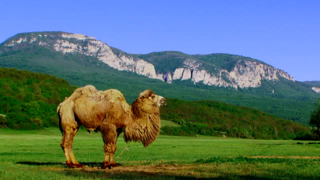 Camel in a pasture video