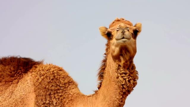camel in desert - egyptisk kultur bildbanksvideor och videomaterial från bakom kulisserna