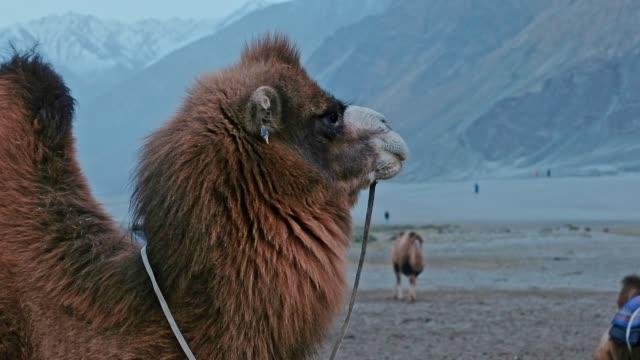 stockvideo's en b-roll-footage met camel is wachten op toeristen in hunder woestijn, nubra vallei, leh ladakh india - klooster