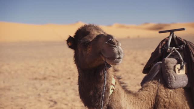 stockvideo's en b-roll-footage met kameel die camera bekijkt en in woestijn rust - eén dier