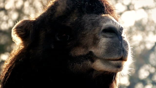 Camel Misty Breathing In The Cold Morning video